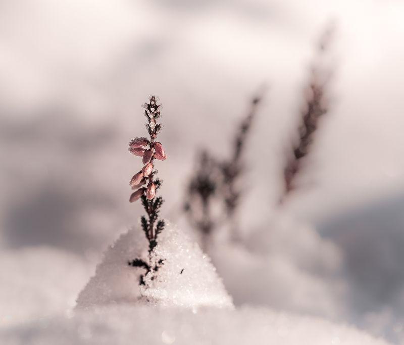 природа, макро, осень, снег, растения, цветы, эрика Белый бунчукphoto preview