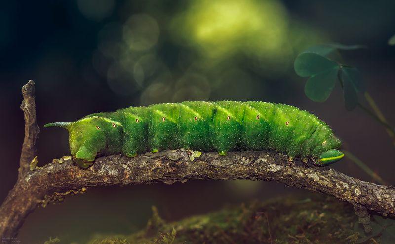 макро, природа, мох, насекомые, гусеница, macro, nature, moss, insects, caterpillar, Бражник глазчатыйphoto preview