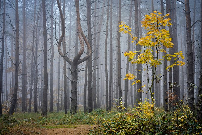 queen forest magic tree mysterious tree dranikowski trees pine foggy mist las The queen of the forestphoto preview