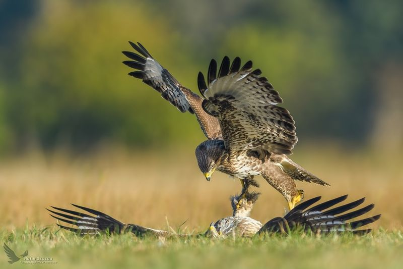birds, nature, animals, wildlife, photo, colors, medaow, fight, nikon, nikkor, lens, lubuskie, poland Siła perswazji - Myszołów, Common Buzzard (Buteo buteo) ... 2018rphoto preview