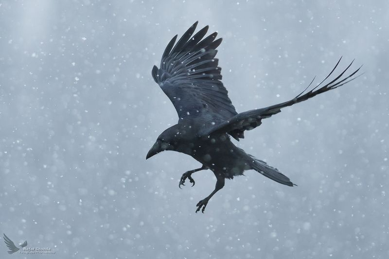 birds, nature, animals, wildlife, winter, flight, nikon, nikkor, lens, lubuskie, poland Kruk, Common Raven (Corvus corax) ... 2018rphoto preview