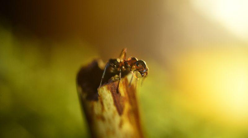 макро муравей photo preview