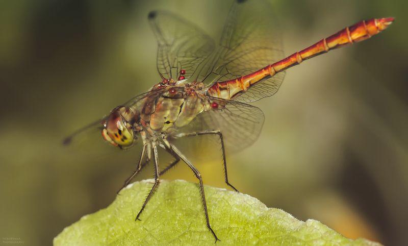 макро, природа, насекомые, паразиты, стрекоза, macro, nature, insects, parasites, dragonfly, Вертолёт и пассажиры photo preview