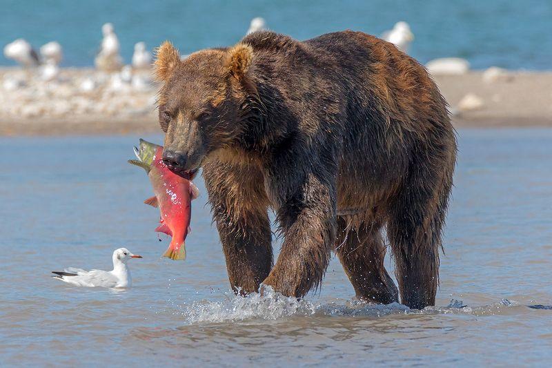 камчатка, медведь, лосось, путешествие, лето, фототур,  Красивый уловphoto preview