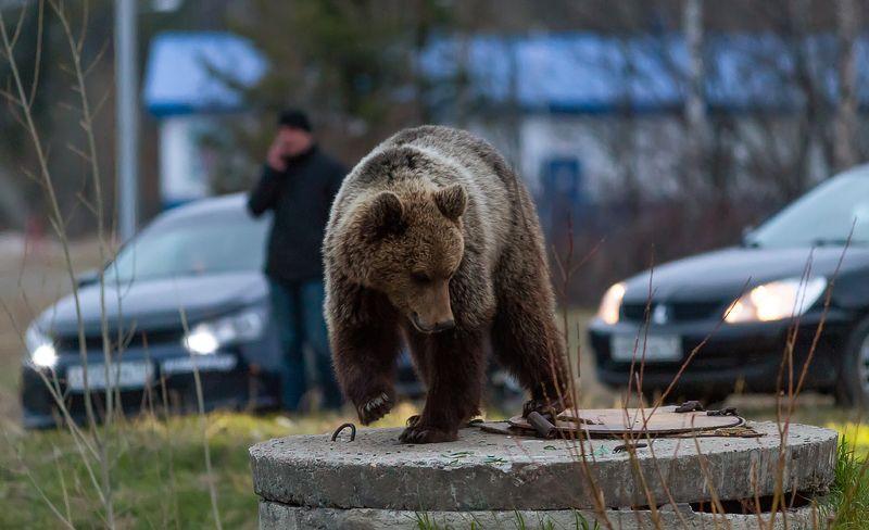 медведи,север,природа,коми,встреча,bears, north, nature, komi, meeting photo preview