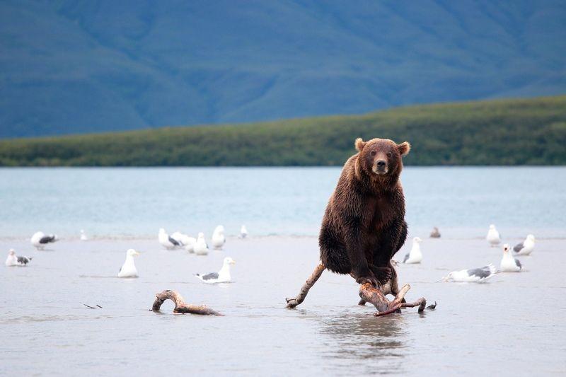 медведь, камчатка, курильское озеро Мишкаphoto preview
