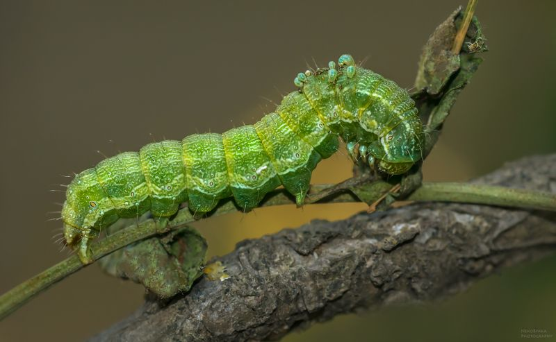 макро, природа, гусеница, насекомые, паразиты, личинки, macro, nature, caterpillar, insects, parasites, larvae, Смертельное соседствоphoto preview