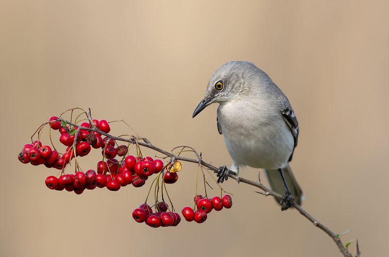 многоголосый, пересмешник, northern, mockingbird Любитель ягод. Многоголосый пересмешникphoto preview