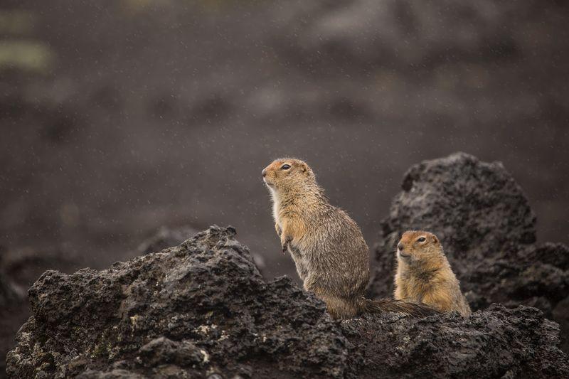 камчатка,россия,вулкан,лава,пейзаж,туман,природа,животные,евражки Любопытные евражкиphoto preview