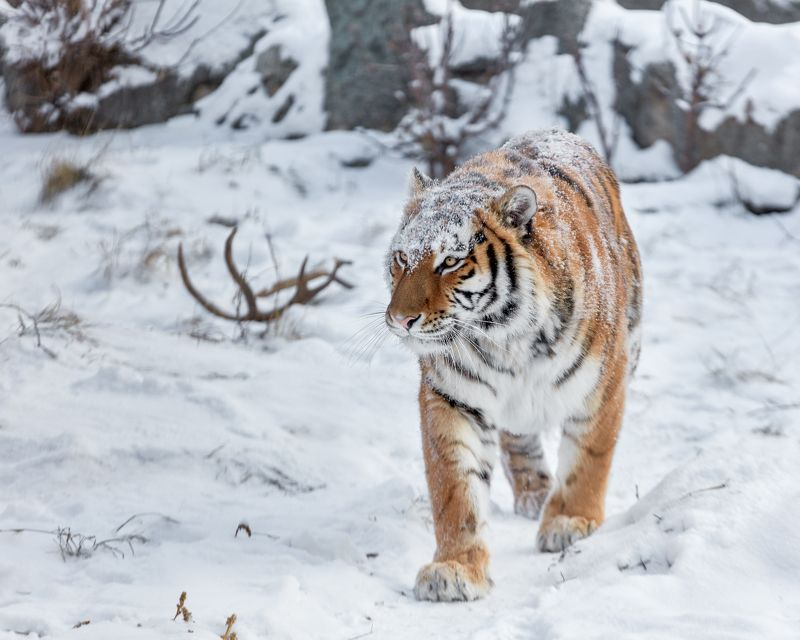 амурская тигрица Амурская тигрицаphoto preview