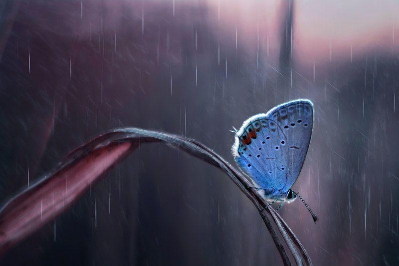 макро, дождь, природа, вечер, закат, лето, трава, голубянка, бабочка photo preview