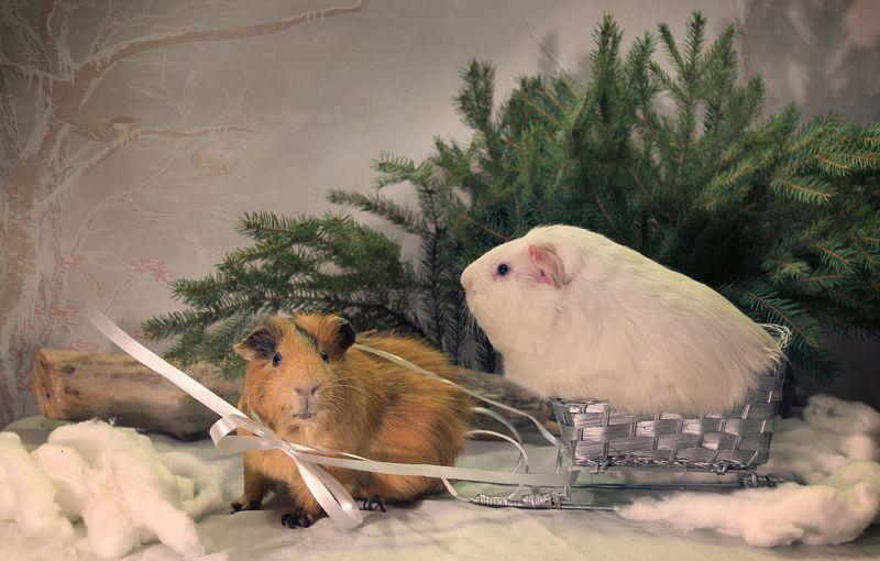 зима, композиция, животные, морские свинки, санки Поедем, красотка, кататься!photo preview