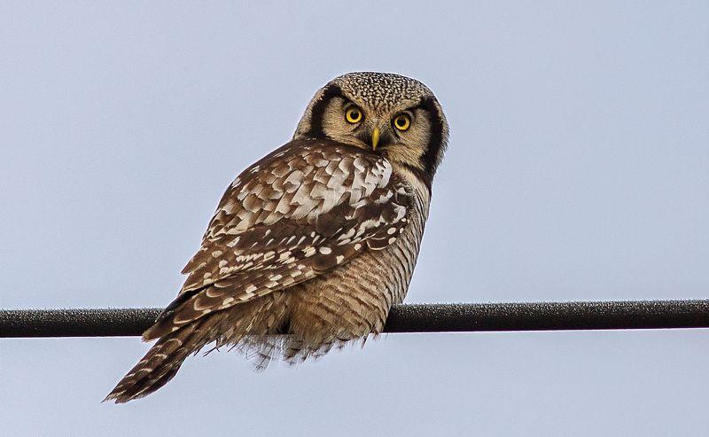 совы,птицы,север,коми,сова ястребиная,печора,owls, birds, north, komi, hawk owl, pechora Сова ястребинаяphoto preview