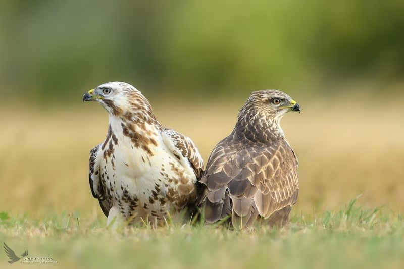 birds, nature, animals, wildlife, meadow, raptors, nikon, nikkor, lens, lubuskie, poland Myszołowy, Common Buzzard (Buteo buteo) ... 2018rphoto preview