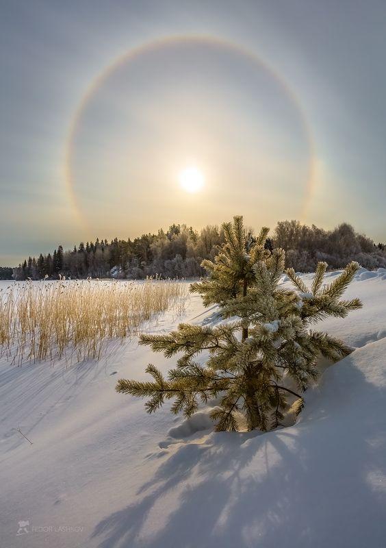 ладожское озеро, карелия, зима, снег, мороз, гало, солнце, солнечное гало, сосна, в снегу, тростник, берег Солнечное гало на Ладогеphoto preview