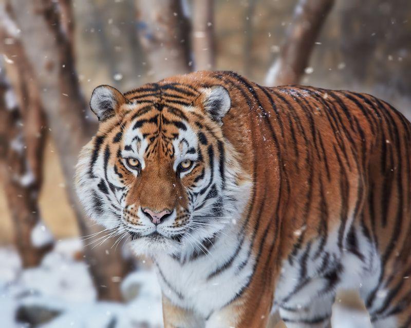 амурский тигр, тигры, кошки Амурский тигрphoto preview