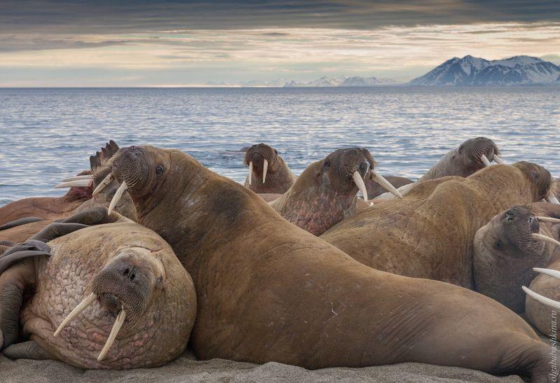 арктика, моржи, море, краснодар, шпицберген Отдыхайте на курортах Северного Ледовитого океана.photo preview