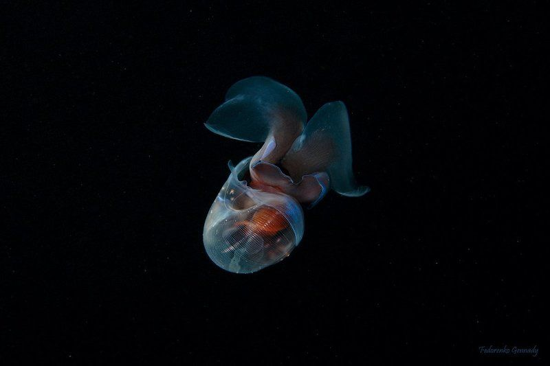 Морской чёртик  (Limacina helicina)photo preview