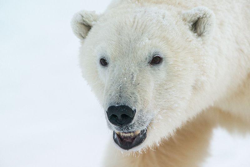 чукотка арктика море медведь белый полярный морской мыс кожевникова Неприятный тип....photo preview