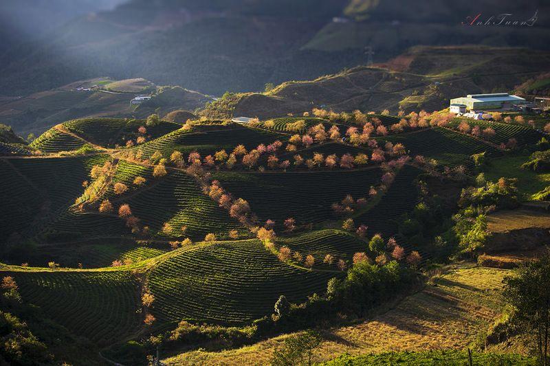 #landscape.#sellingphoto.#sapa. Hill Tea O Long - Sapa - Viet Namphoto preview