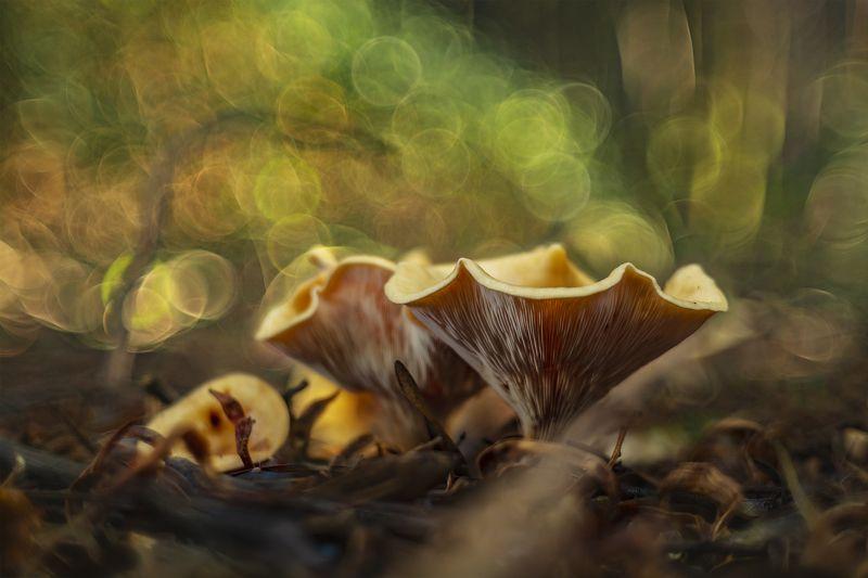 mushroom, nature, macro, beautiful, bokeh Cantharellus cibariusphoto preview