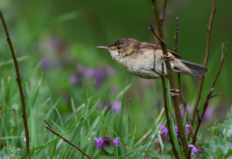 bird, birds, wings, feathers, flight, warbler, reed, green, grass Reed warblerphoto preview