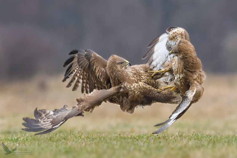 birds, nature, animals, wildlife, colors, fight, meadow, nikon, nikkor, raptors, lubuskie, poland Myszołowy, Common Buzzard (Buteo buteo) ...photo preview