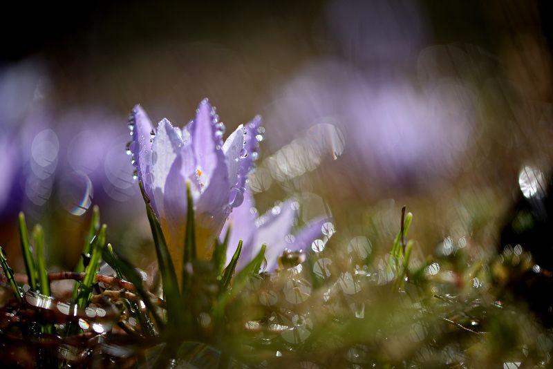 природа, макро, весна, цветы, крокус, капли дождя, боке Крокусоманияphoto preview