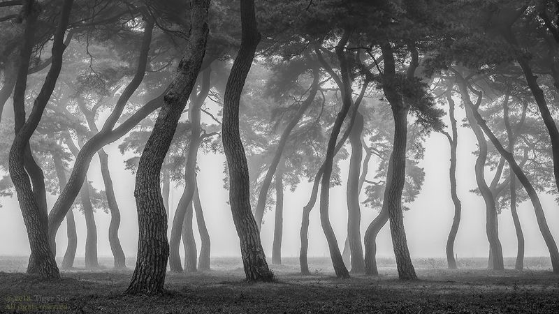 pine_tree tree for foggy morning old long time landscape  Standphoto preview