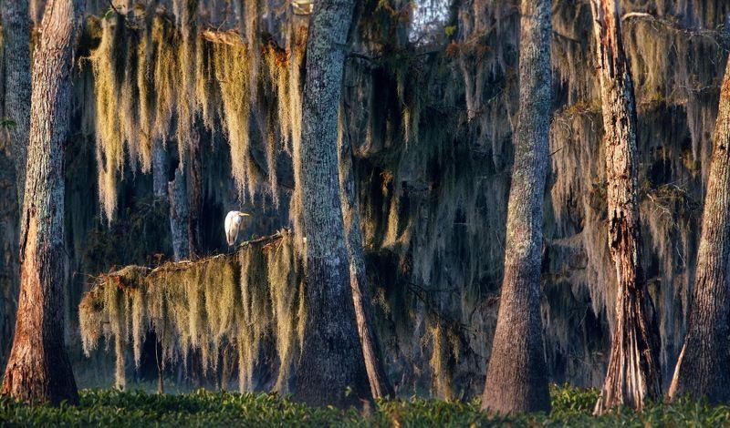 кипарисовые болота cypress swamps Кипарисовое спокоище - 2photo preview