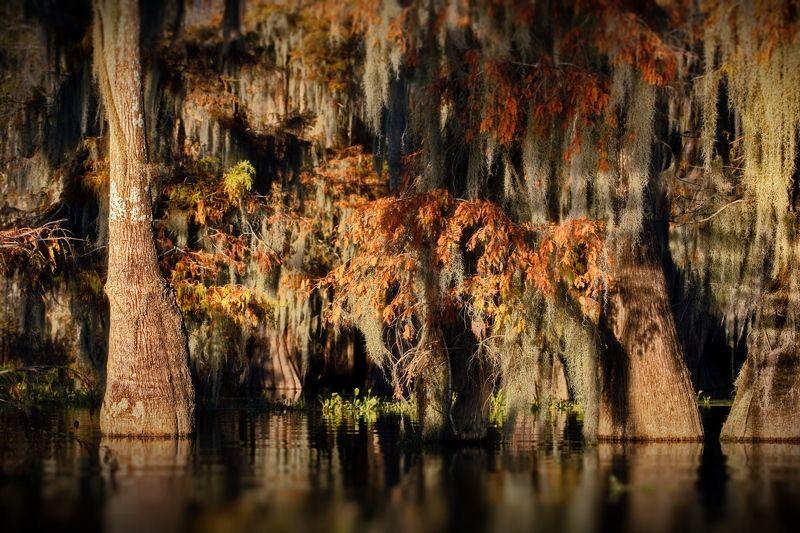 кипарисовые, болота, cypress, swamps Кипарисовые ощущения в миниатюреphoto preview