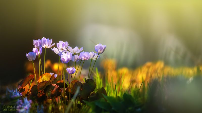 Chinese Twinleaf light flower macro colors Korea TigerSeo Chinese Twinleafphoto preview