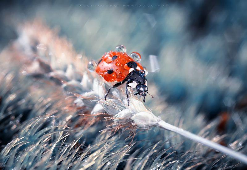 after rain ladybug ladybird macro volna dranikowski biedronka божья коровка water drops After rainphoto preview