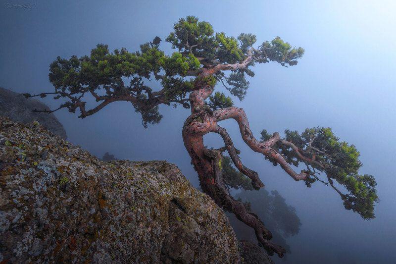 крым, демерджи, сосна, туман Танец в туманеphoto preview