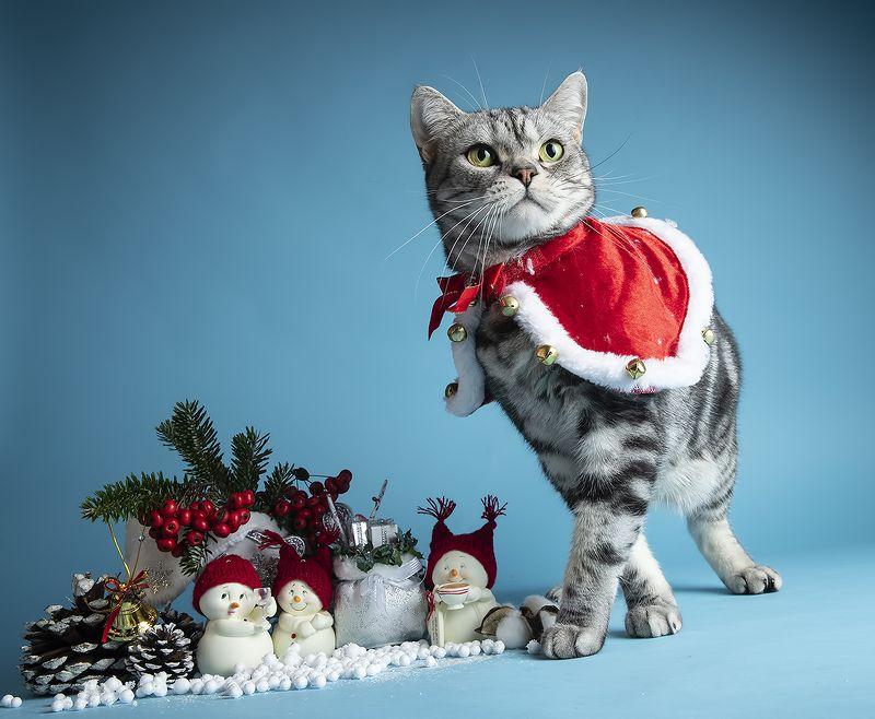 сat, кошка, животные, кошки,  рыжий кот,  ginger, новый год, американский короткошерстный кот, american shorthair cat Скоро Новый Год - Наши котики к праздникам!photo preview
