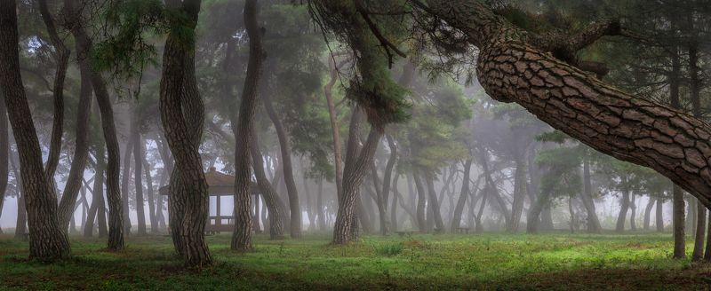 pinetree panorama green light trees forest fog foggy morning Korea pine forestphoto preview