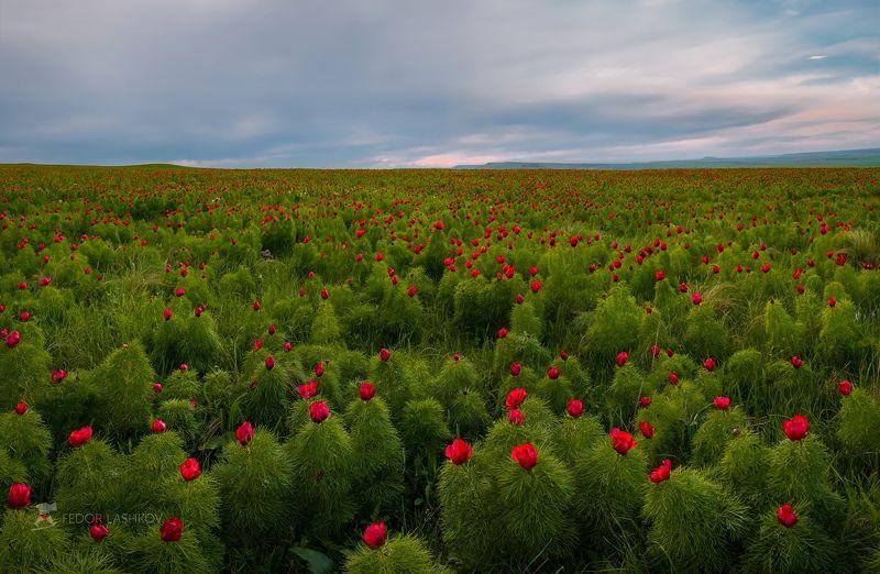 ставропольский край, фотоальбом, ставрополье, ставропольская возвышенность, весна, цветы, степь, пион, пион узколистный, пион-лохмач, вечер, зелёный, красный, цветок, дикий, флора Вечерняя цветущая степьphoto preview