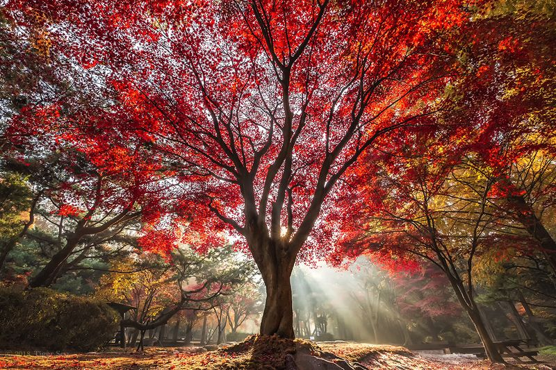 red tree foliage rays sunlight light autumn color landscape travel Korea Red treephoto preview