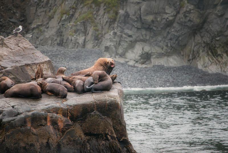 камчатка,сивучи,россия,природа,животные,океан,фототур Сивучи на отдыхеphoto preview