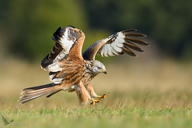 red kite, birds, nature, animals, wildlife, colors, meadow, flight, landing, nikon, nikkor, lens, lubuskie, poland Kania Ruda, Red Kite (Milvus milvus) ... 2018rphoto preview