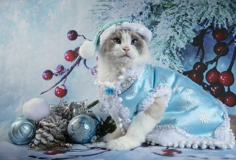 матильда, новый год, праздник, рэгдолл Матильда. Снегурочку - вызывали?photo preview
