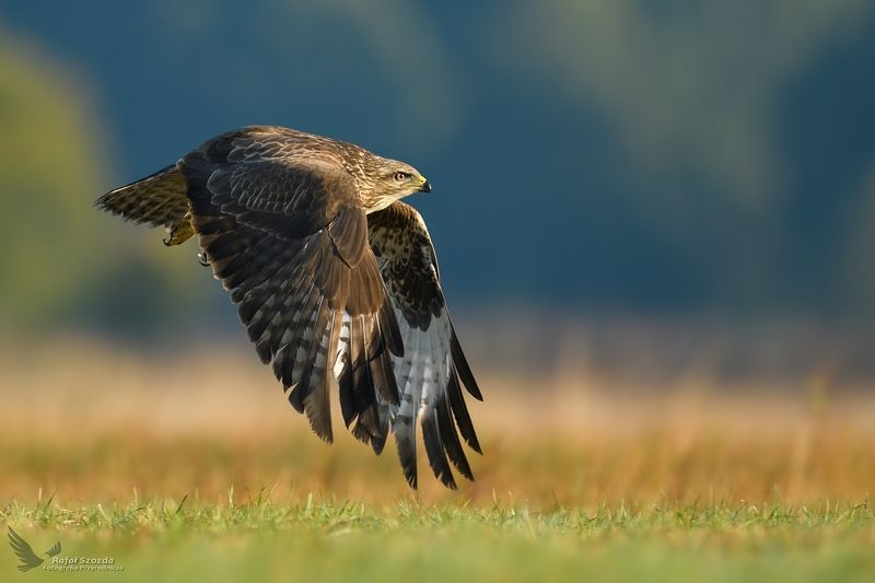 birds, nature, animals, wildlife, colors, meadow, flight, wings, raptors, lens, nikkor, nikon, lubuskie, poland Myszołów, Common Buzzard (Buteo buteo) ...photo preview