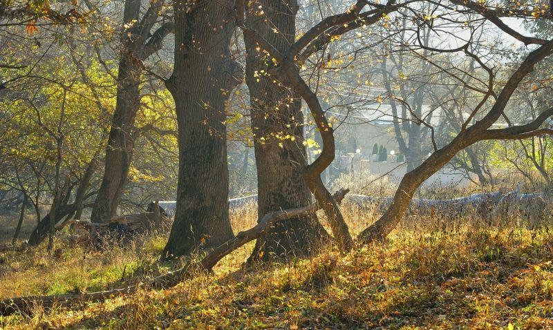 осень утро роща дуб Осеннее утроphoto preview