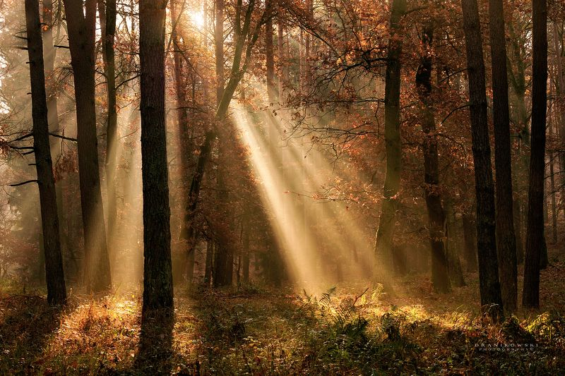 light beams in forest trees sunlight las dranikowski foggy morning mist magic light beams in forestphoto preview
