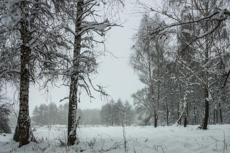 зима, снег, туман, лес, берёзы photo preview