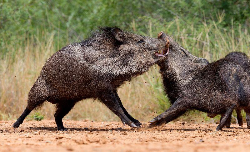 javelinas, animals,животные, tx, texas, peccary, пекариевые Happy New Year! Javelinas Fight for Corn.photo preview