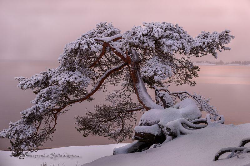 природа,сосна,карелия,красота,зима \