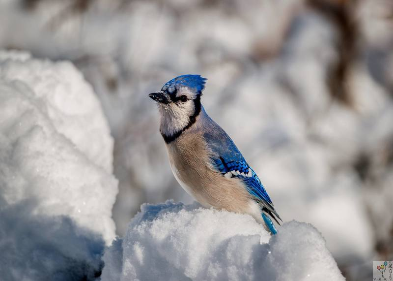 Blue Jay in Snowphoto preview
