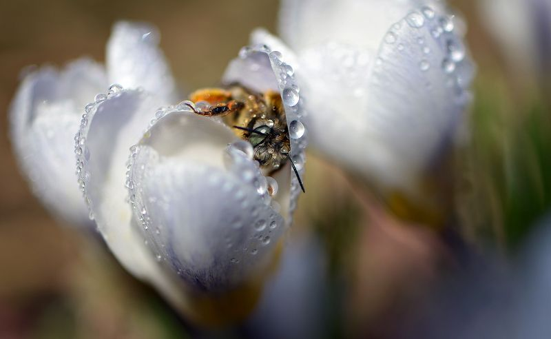 природа, макро, весна, цветы, крокус, капли дождя, насекомое, пчела Спа салонphoto preview