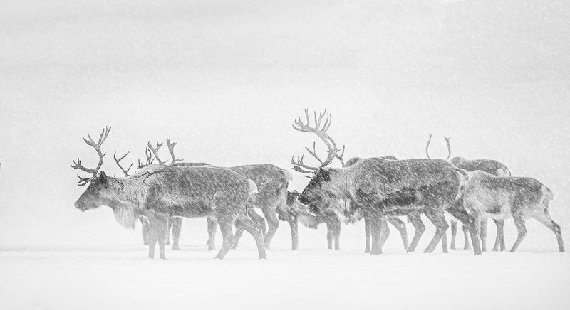 deer, north, winter, frost, cold, komi, pechora,олени,север,зима,мороз,холод,коми,печора, Суровая красота Севераphoto preview